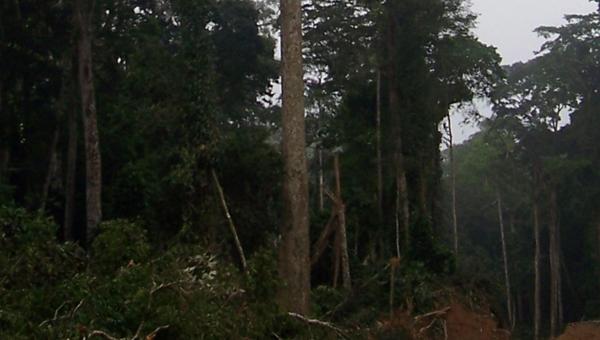 ساپلی، چوب با ارزش جنگلهای آفریقا